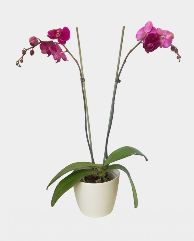 Orquídea - Florería Miranda