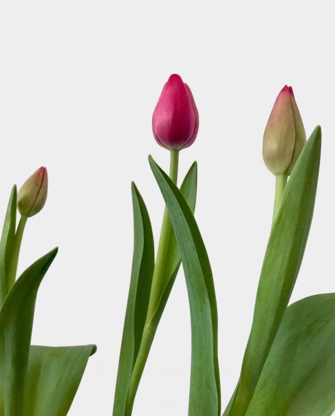 Tulipanes - Florería Miranda